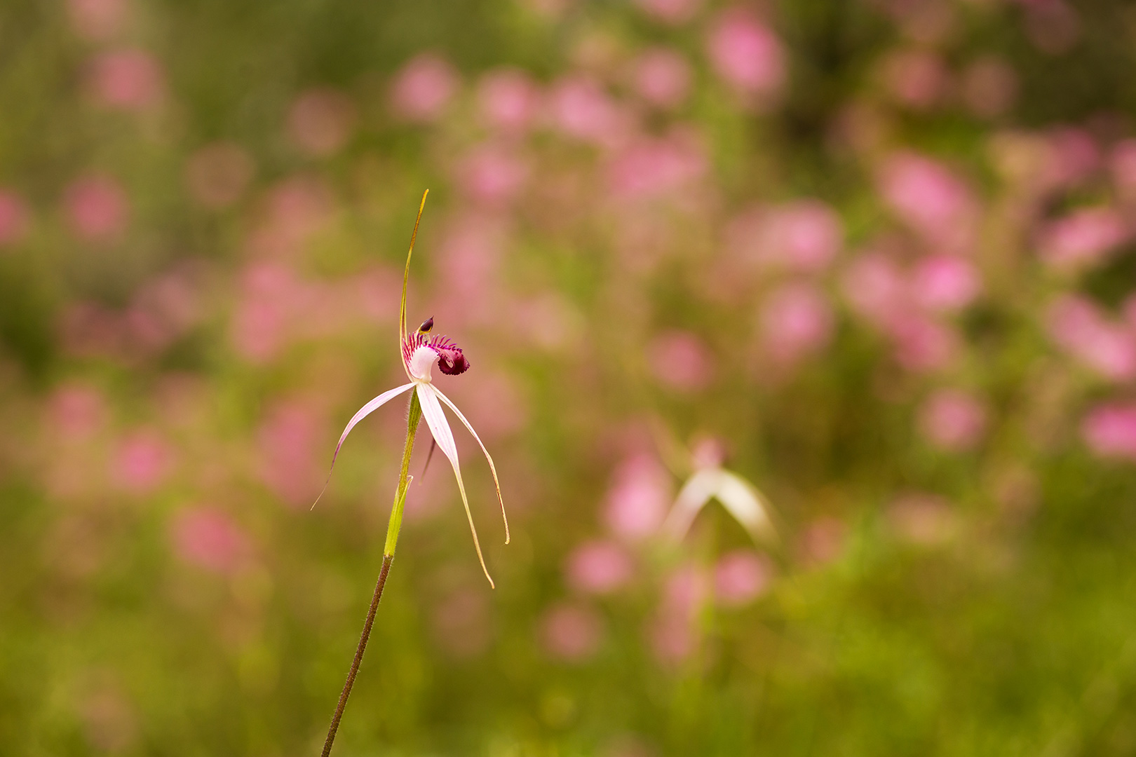 close up of native orchid