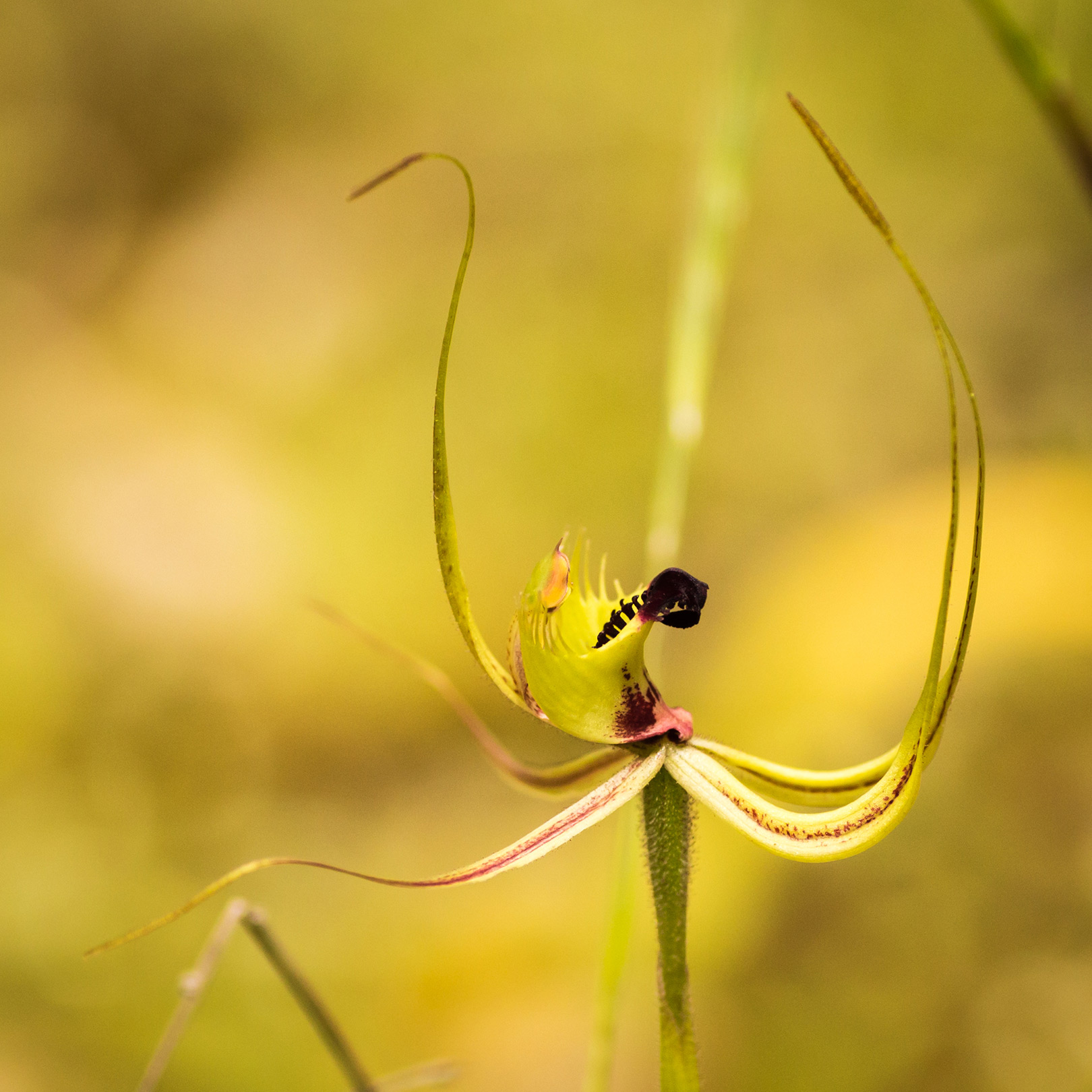 close up on native orchid